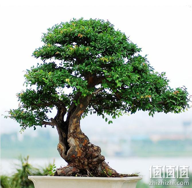 榔榆(淘宝网 )